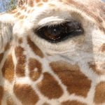A giraffes eye up close.