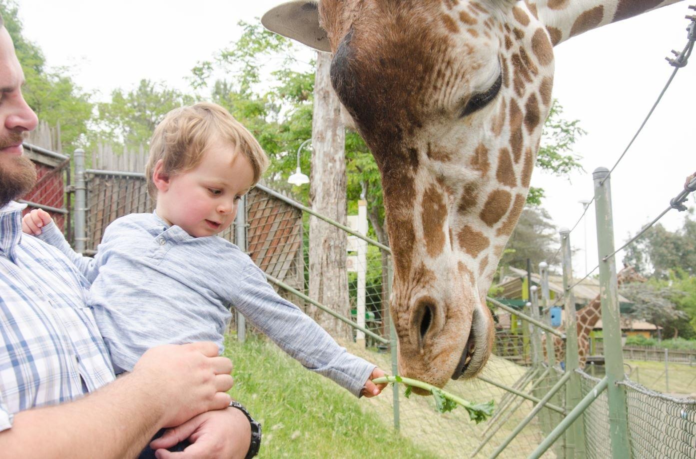 Child feeding giraffe.