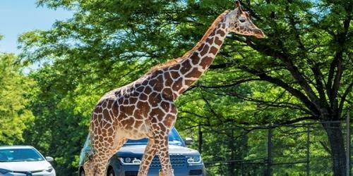 Six Flags Great Adventure Giraffe