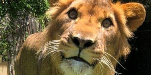 Cain's Lion Cub Island
