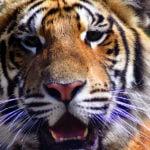 sfdk-tiger_1400x600