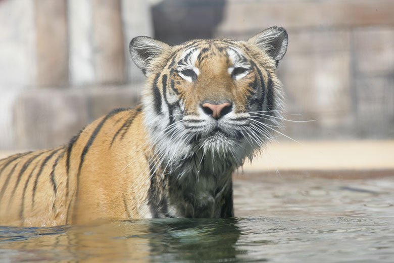 tiger in water at six flags
