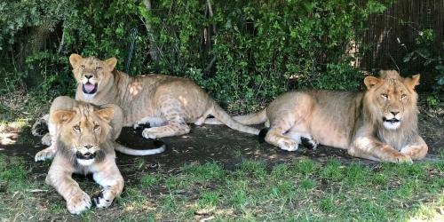Cain & The Lion Cubs - Caregiver Talk