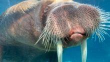 Sfdk_walruses_pakak1-scaled