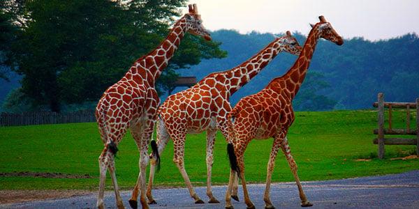 giraffes_600x300