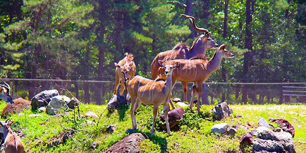 greater_kudu_600x300
