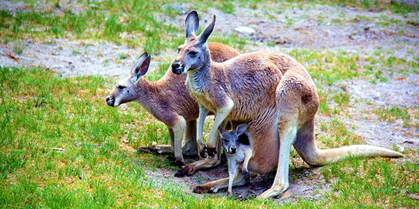 red kangaroos at the park