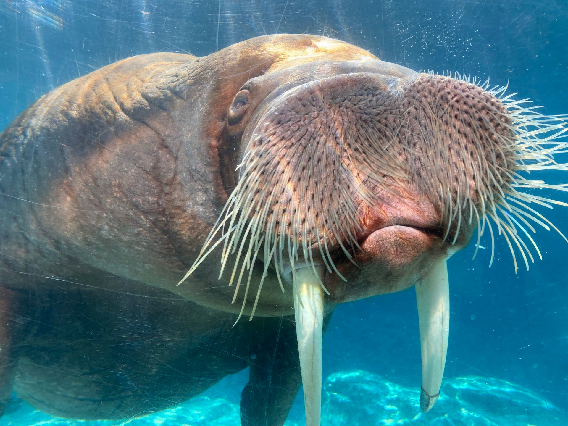 sfdk_walruses_pakak1-1