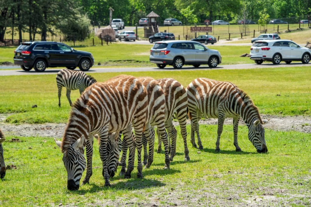 zebras grazing at the park